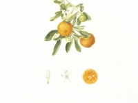 Calamondin copy