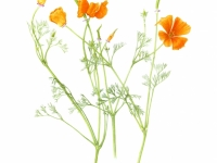 CaliforniaPoppy copy